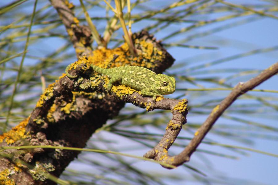 Fotografía de camaleones en Huelva